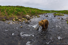 Bear in the Kambalnaya river #2