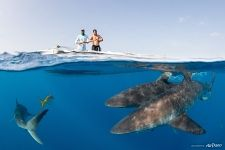 Split-photo with sharks