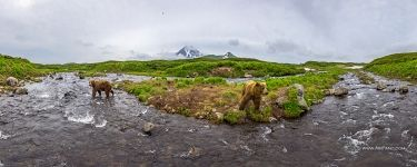 Bears in the Kambalnaya river. Kamchatka, Russia